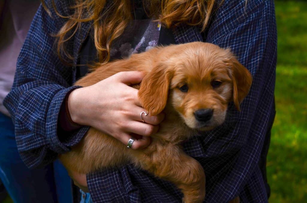 golden retriever puppy goes home at 8-12 weeks
