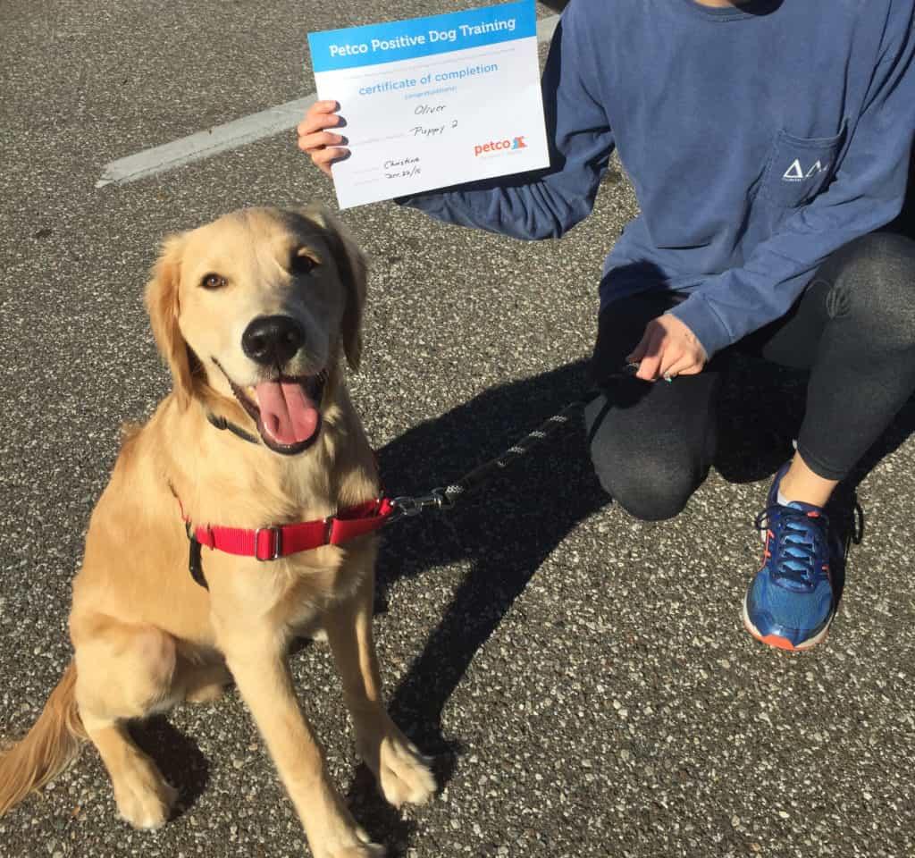 golden retriever puppy training class