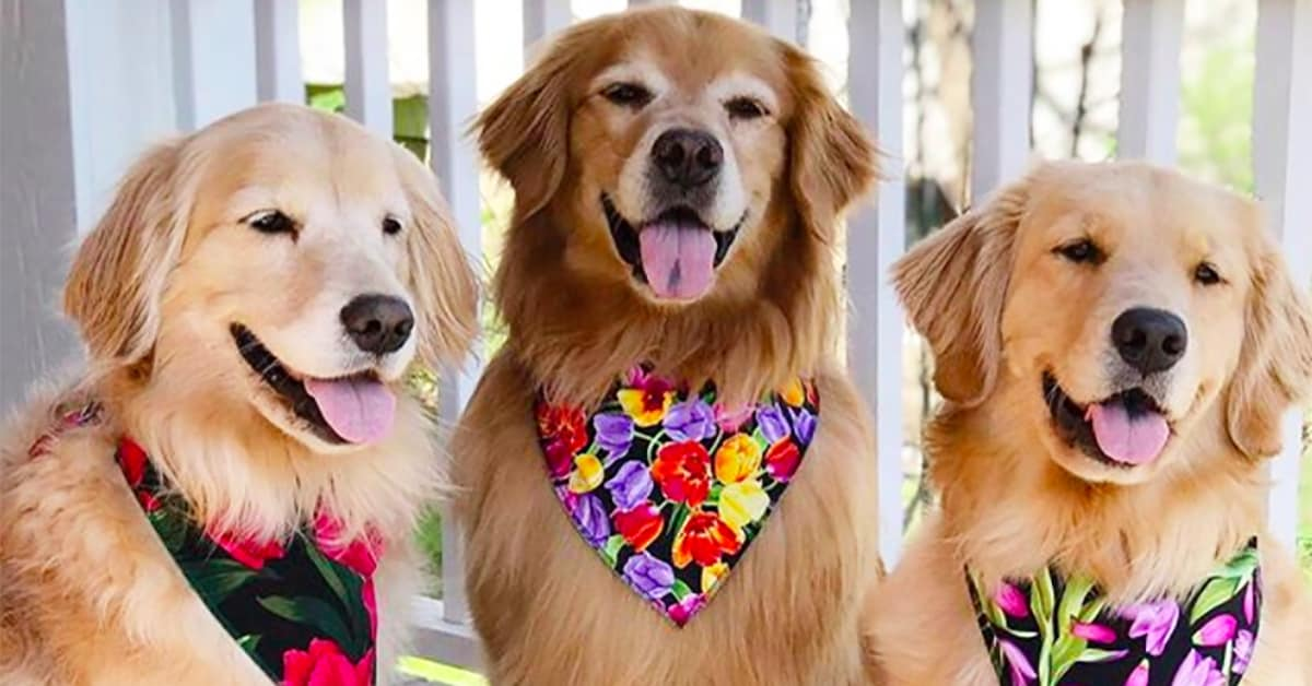 different kinds of golden retrievers