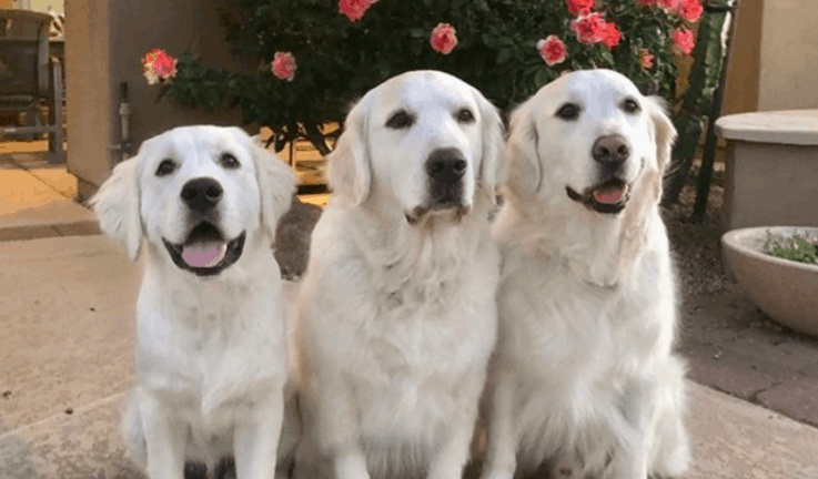 therapy dogs golden retriever