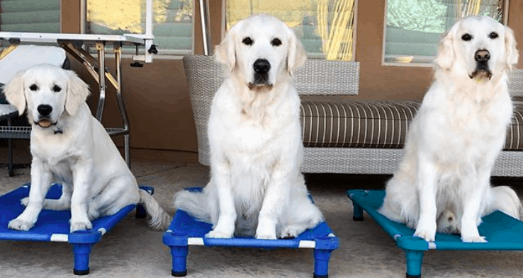 golden retriever dog training for therapy dogs