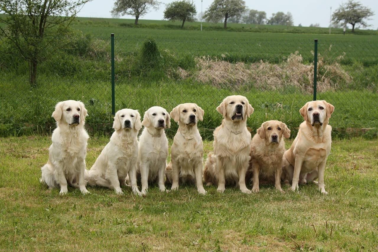 golden retriever dog park