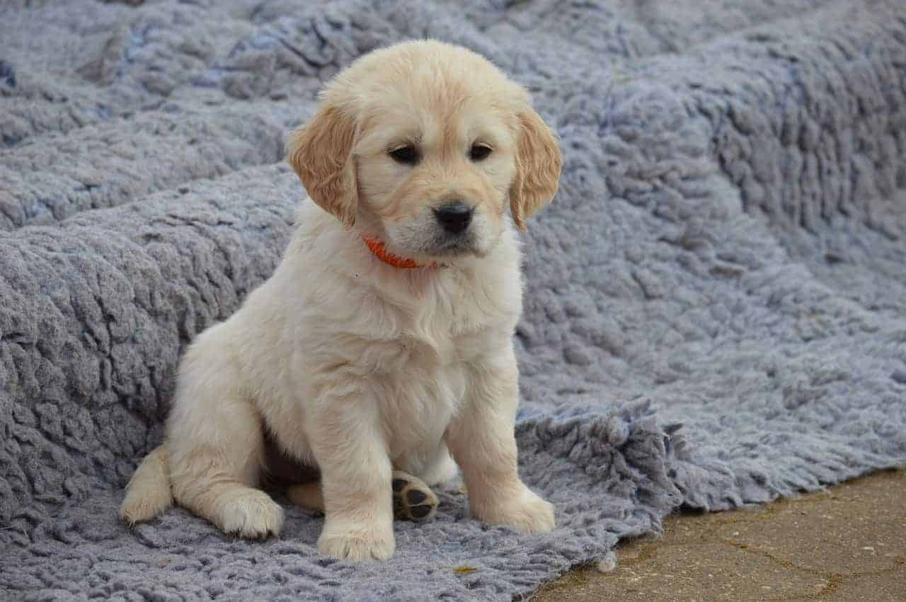 female golden retriever names