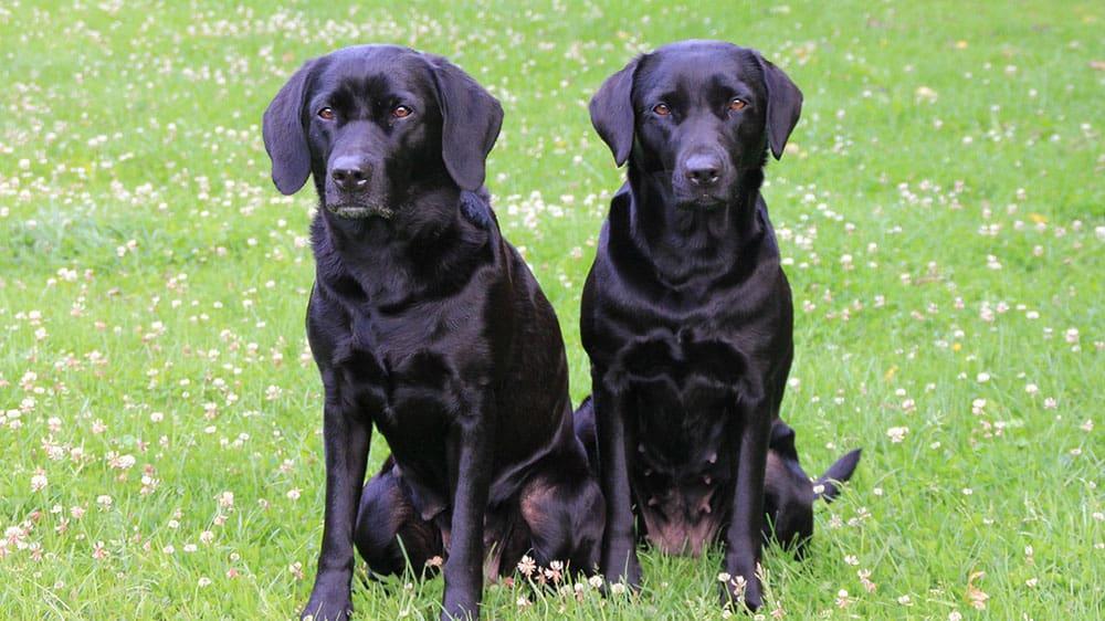 golden retriever vs labrador easy to train