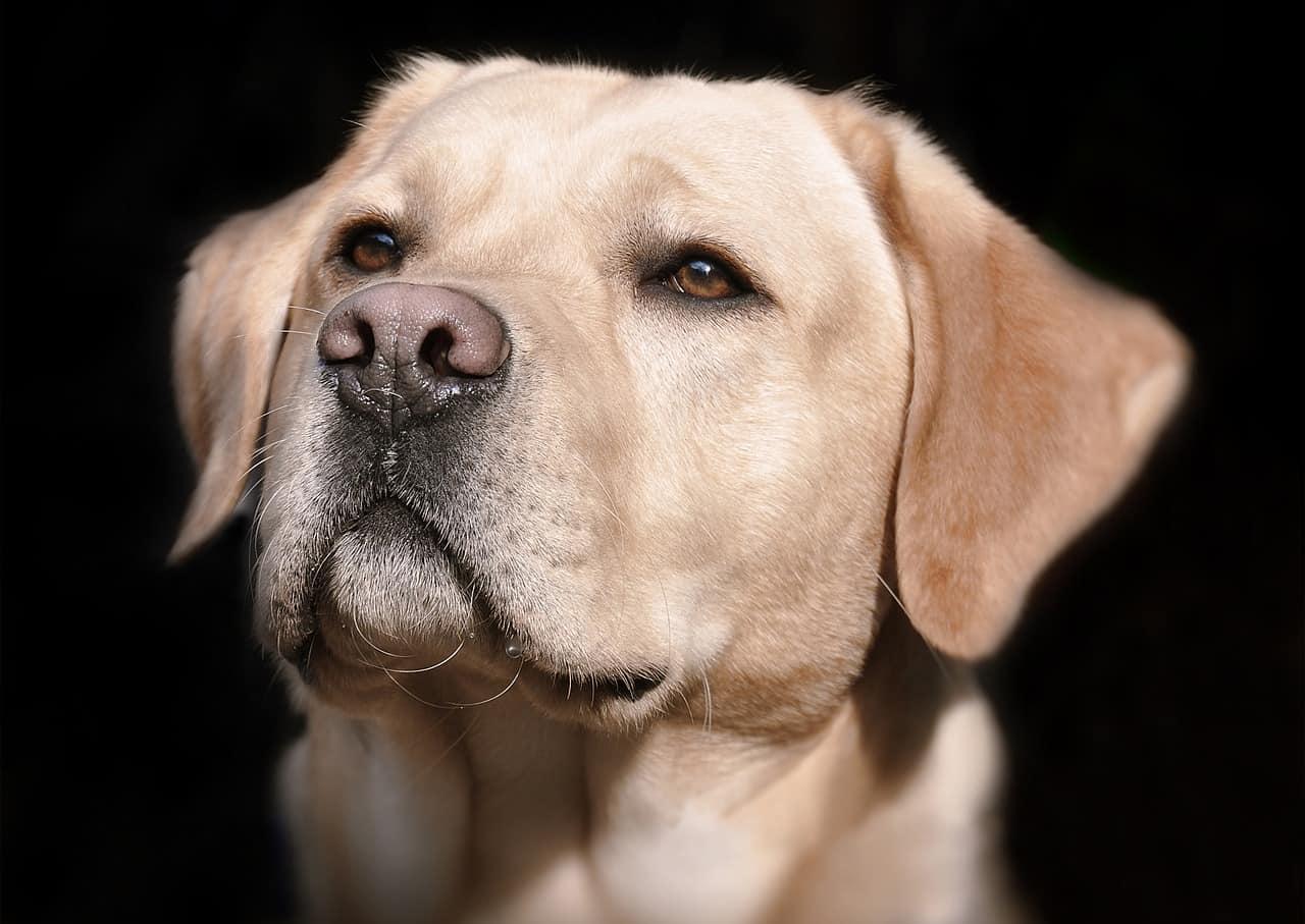 golden retriever or labrador smarter