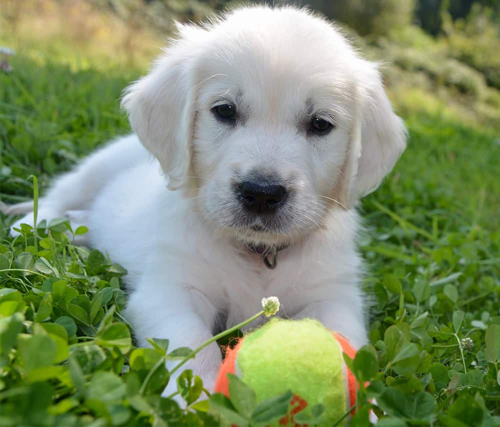 puppy ball chew toy