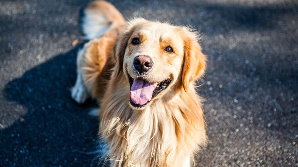 golden retriever vs labrador shedding