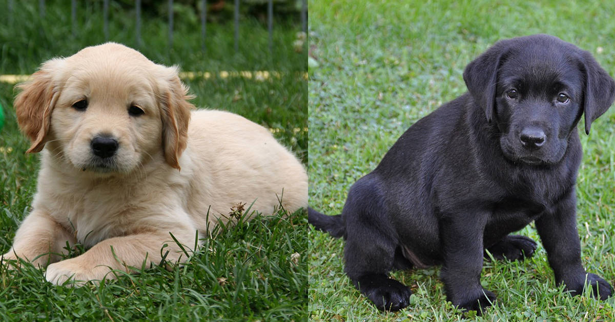 Golden Retriever Vs Lab 12 Factors To Help You Choose