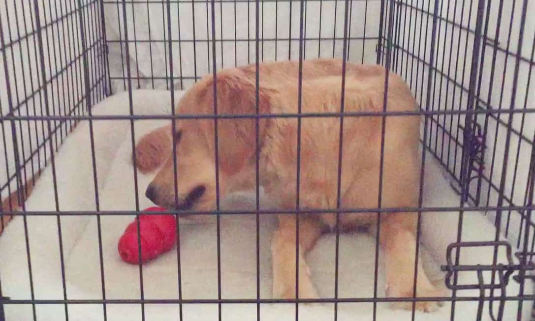 puppy crying in crate