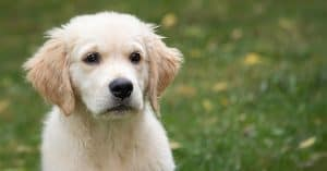 golden retriever price