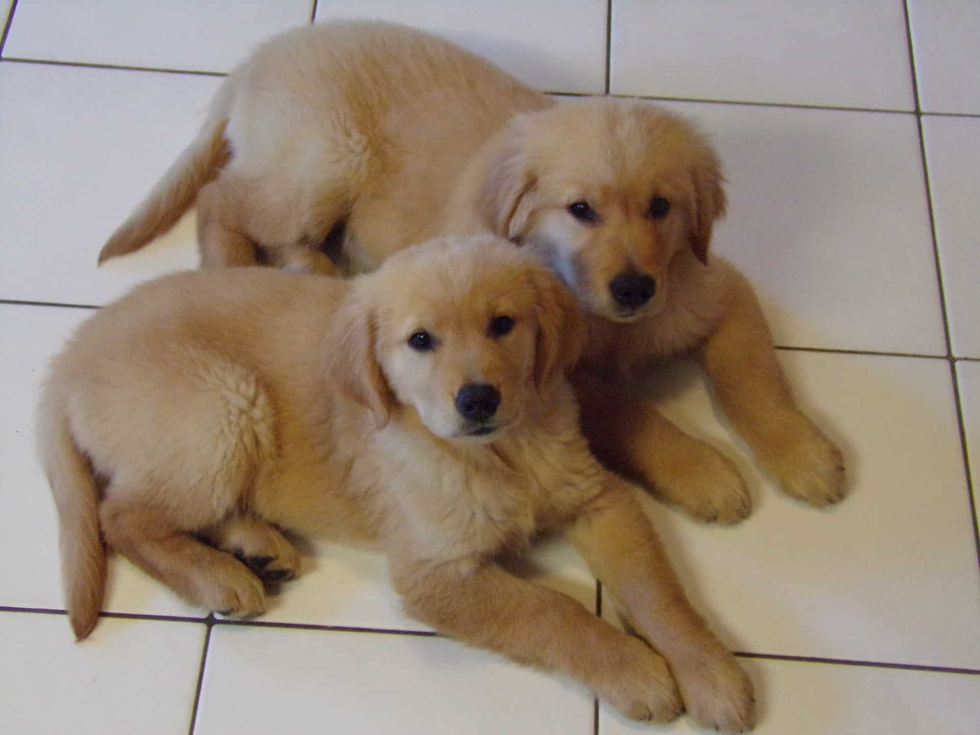 should i get a golden retriever
