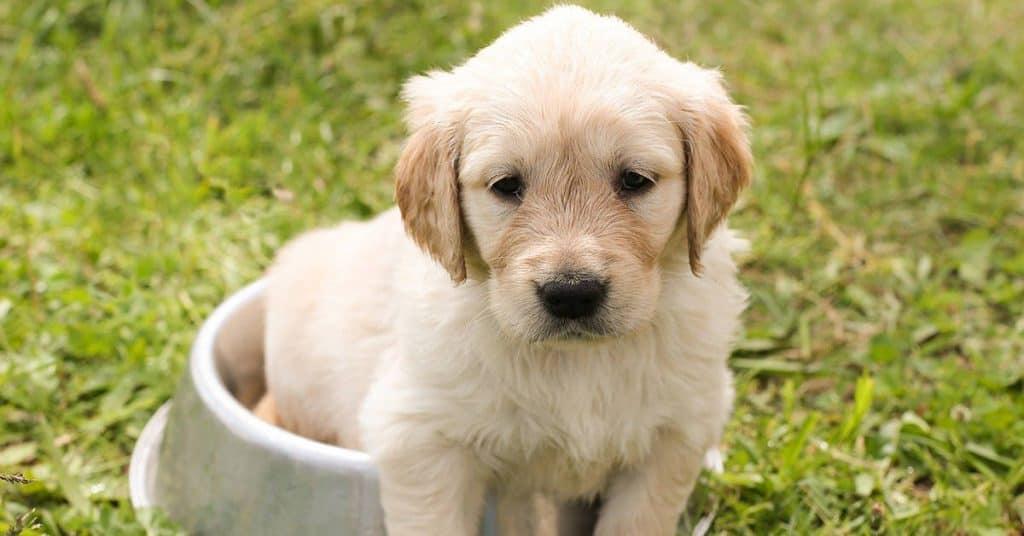 best golden retriever puppy food