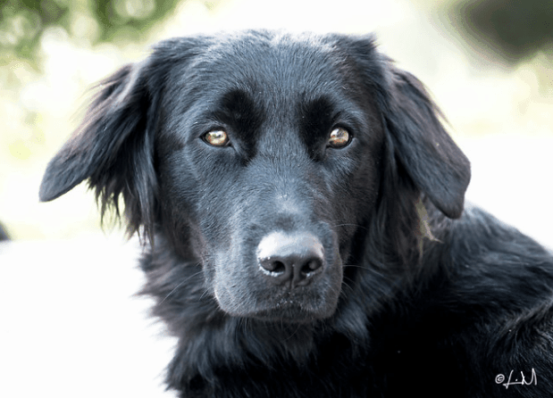 black golden retriever german shepherd