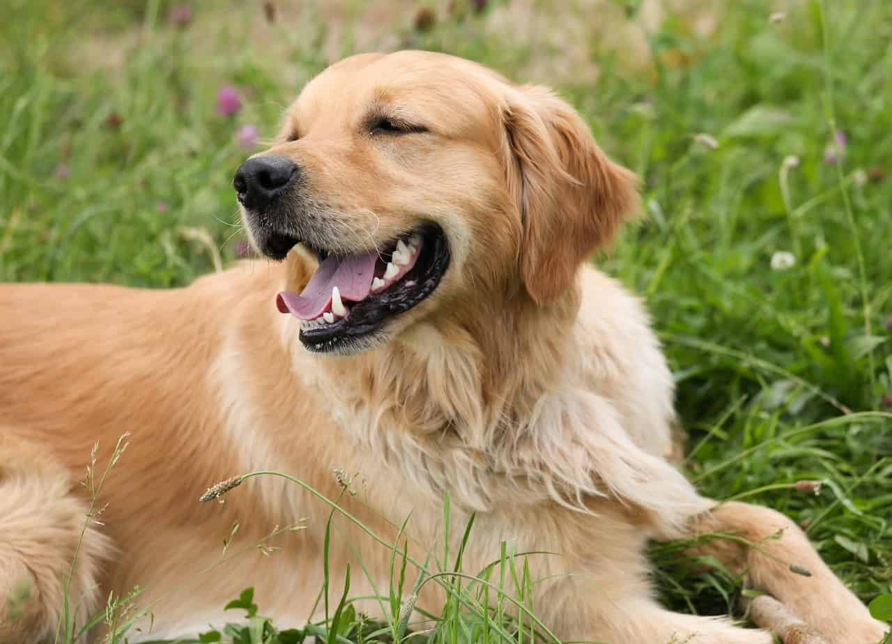 how to reduce golden retriever shedding