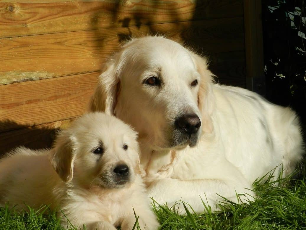 english cream golden retriever mom and puppy