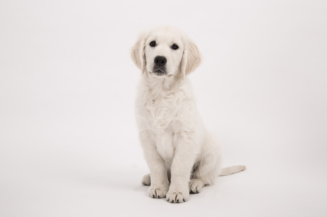 english cream golden retriever easy to train