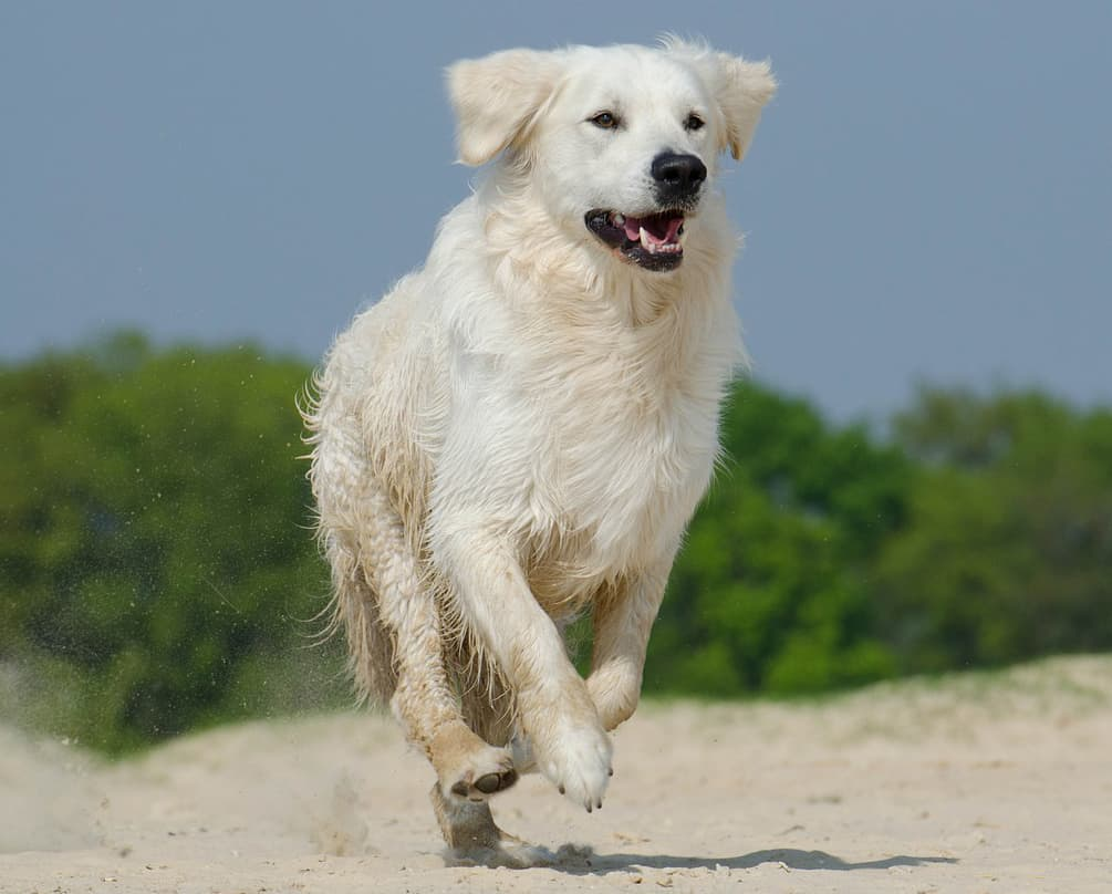 english cream golden retriever health