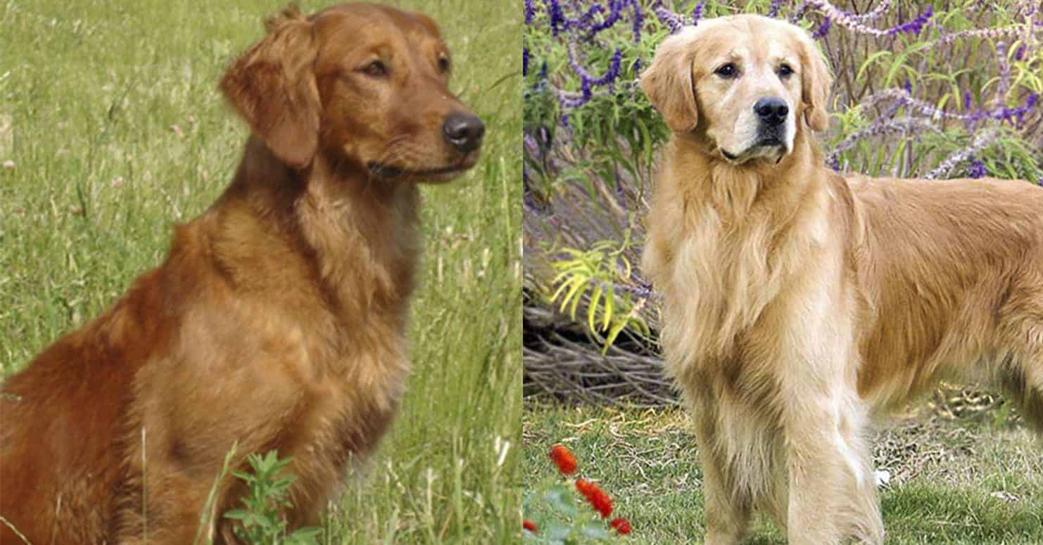 red golden retriever difference