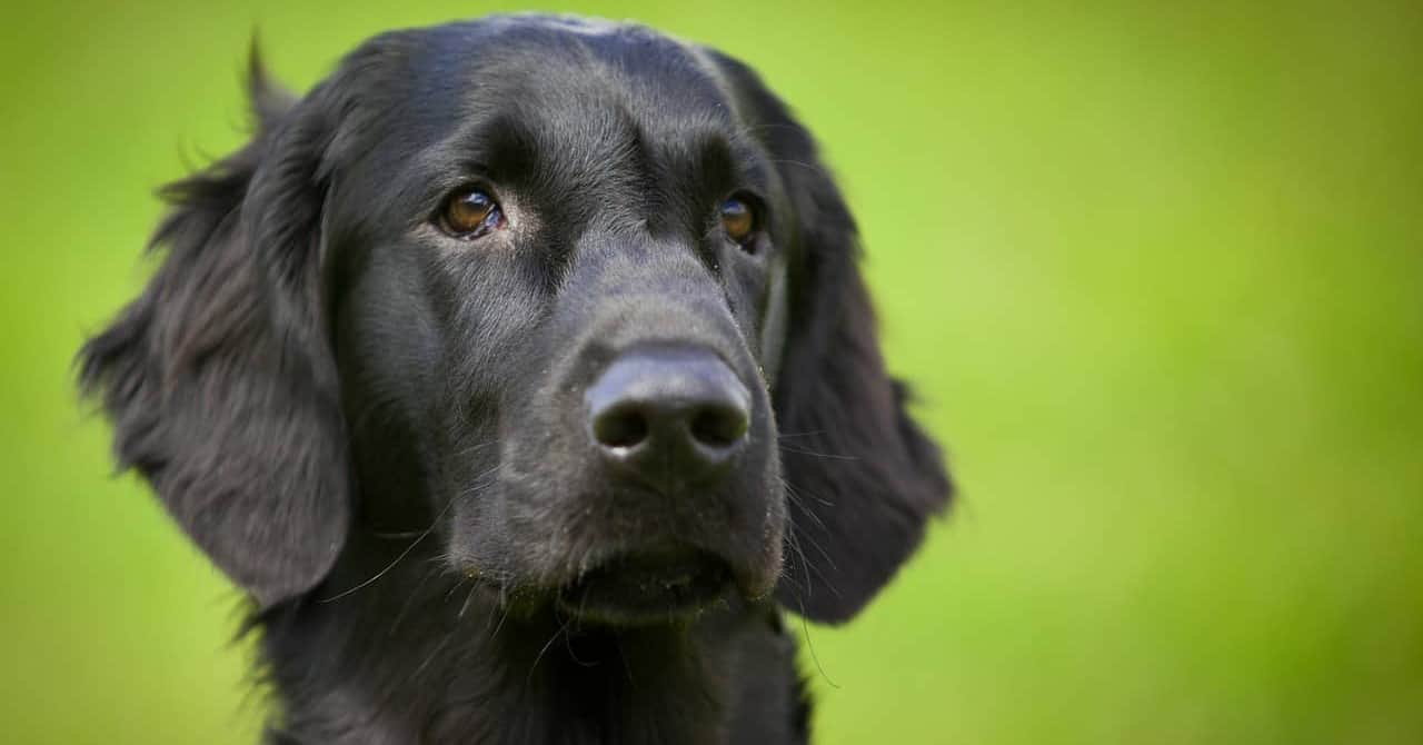 dogs that look like black golden retriever