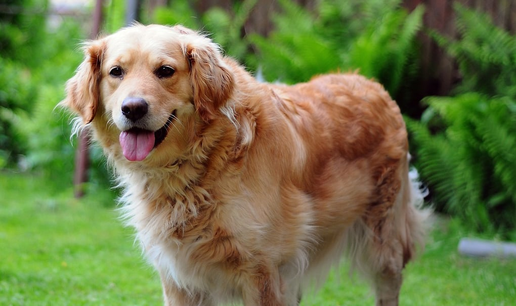 stop golden retriever shedding