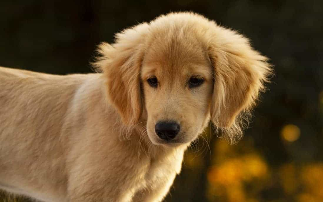 girl golden retriever names