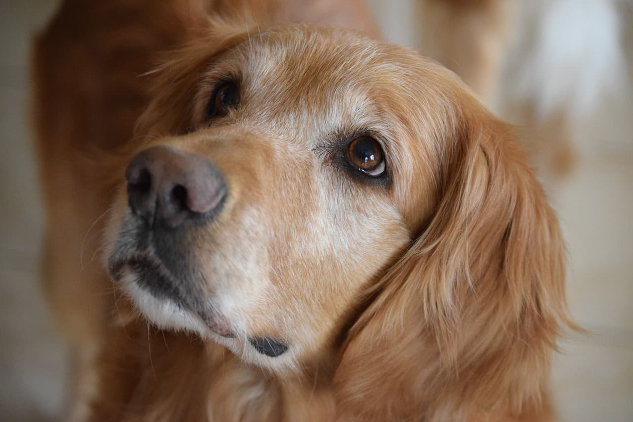 golden retriever health issues