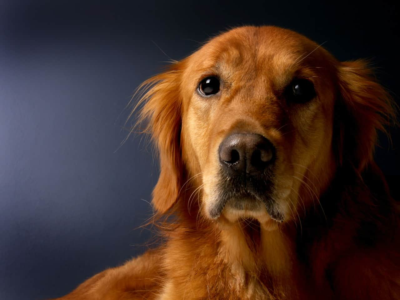golden retriever food related health issues