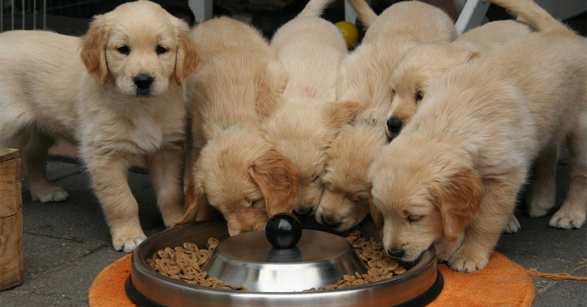 what to feed your golden retriever puppy
