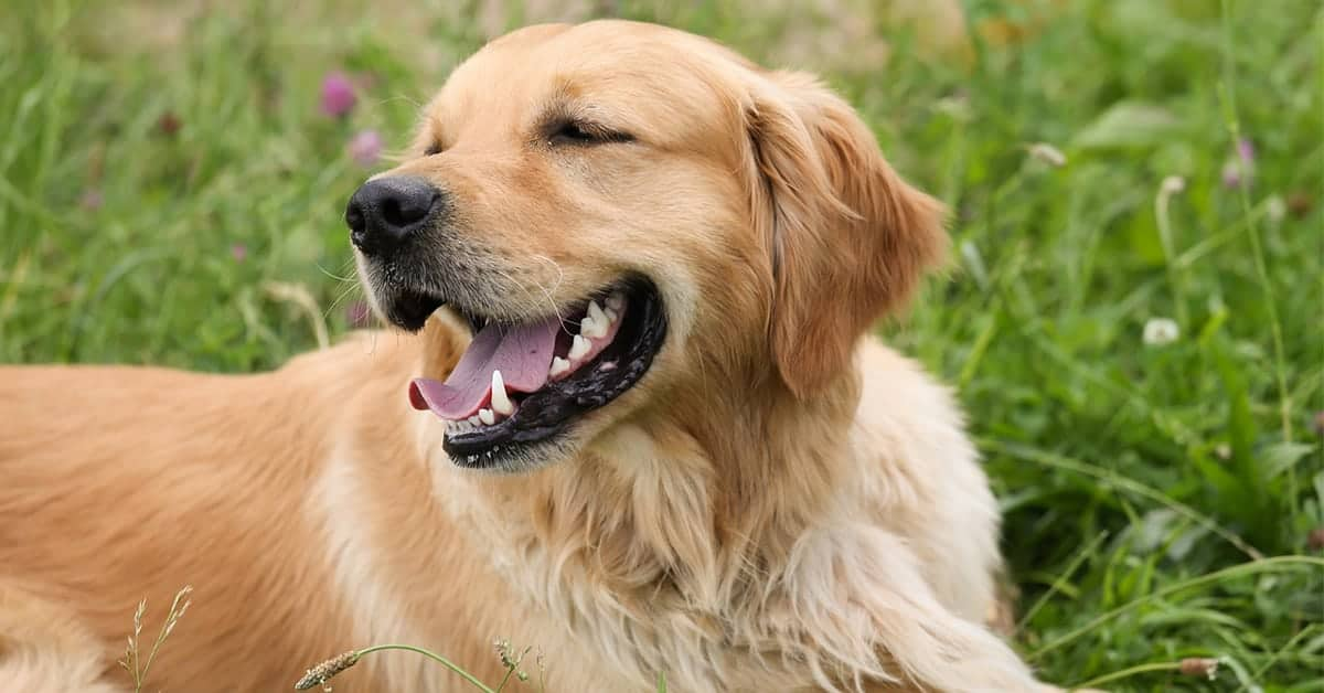 how to groom golden retriever