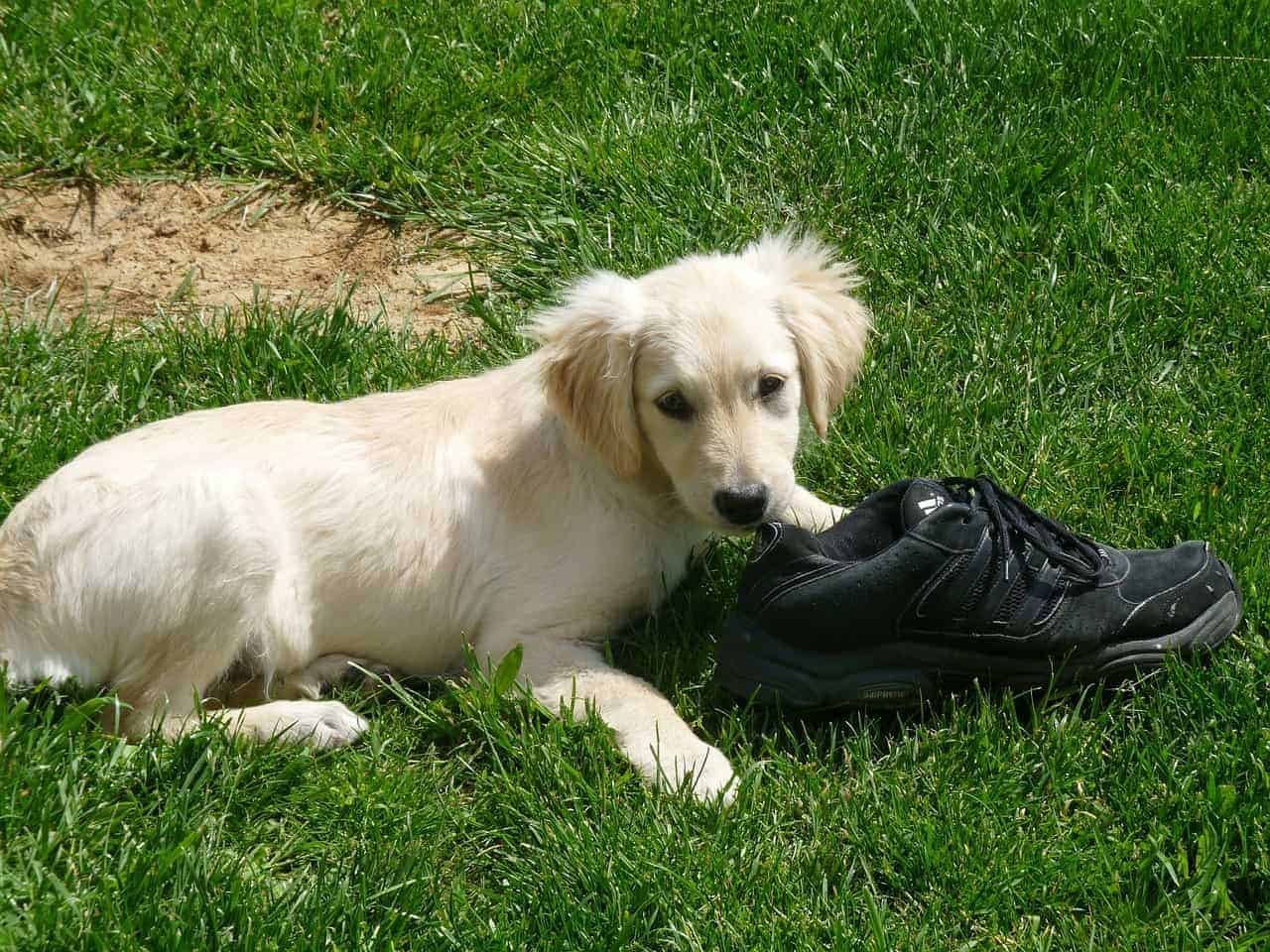 crate training for potty training golden retriever