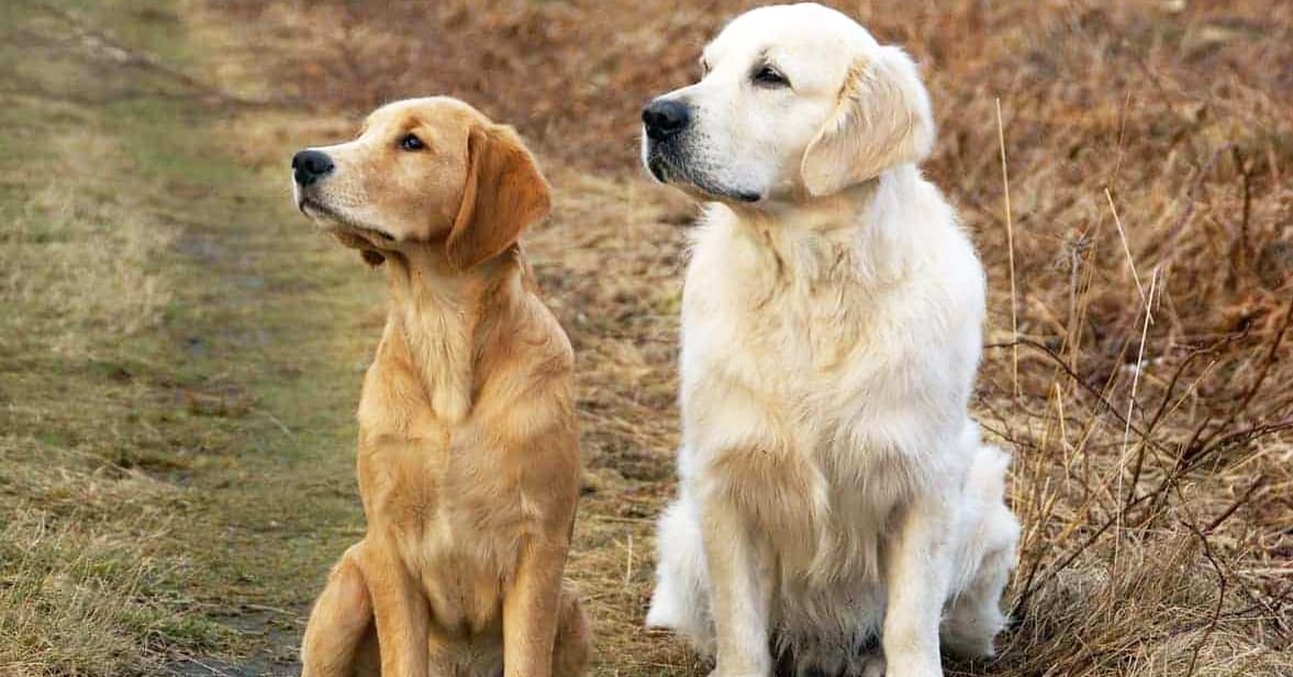 types of golden retrievers