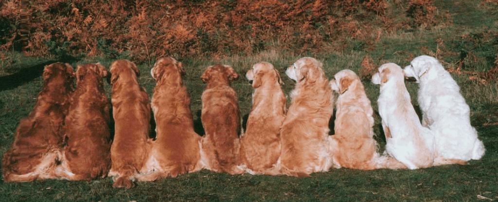 types of golden retrievers color