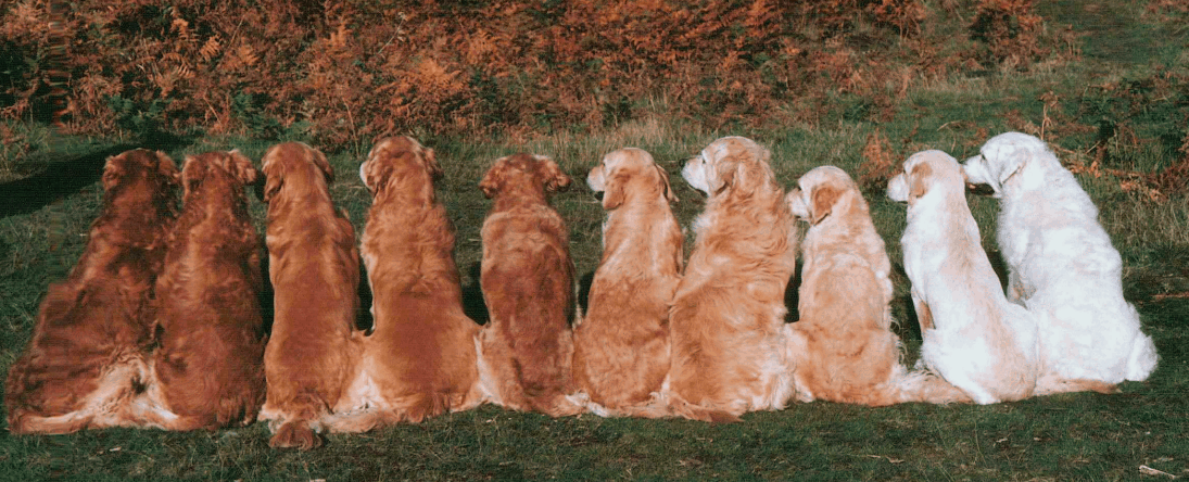 types of golden retrievers color