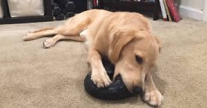 best chew toys for golden retriever puppies