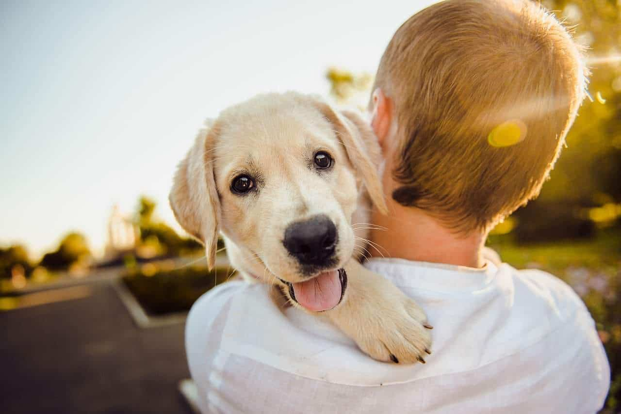 How To Pick A Golden Retriever Puppy From The Litter 6 Helpful Tips Golden Hearts
