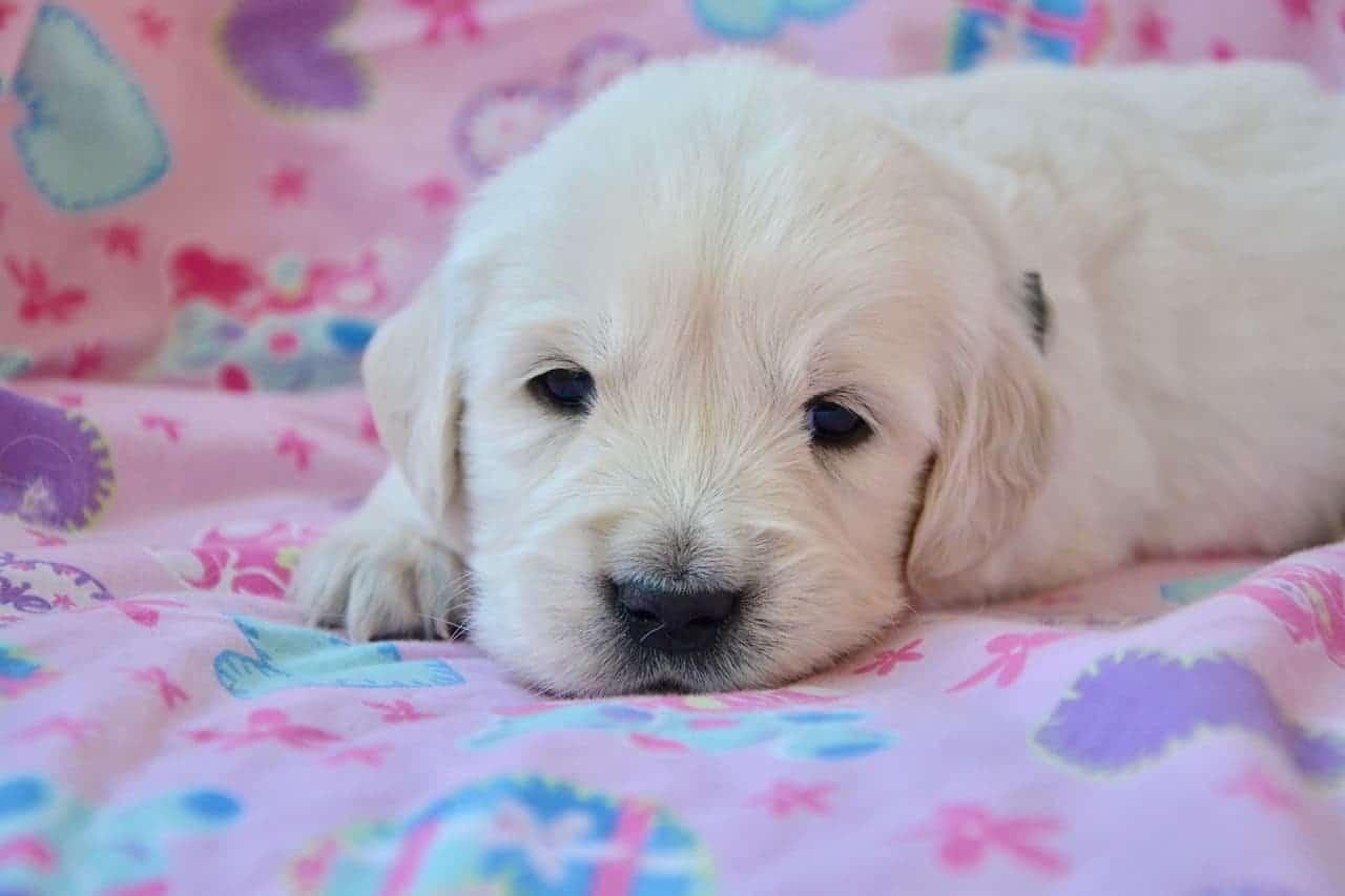 find golden retriever puppy breeder