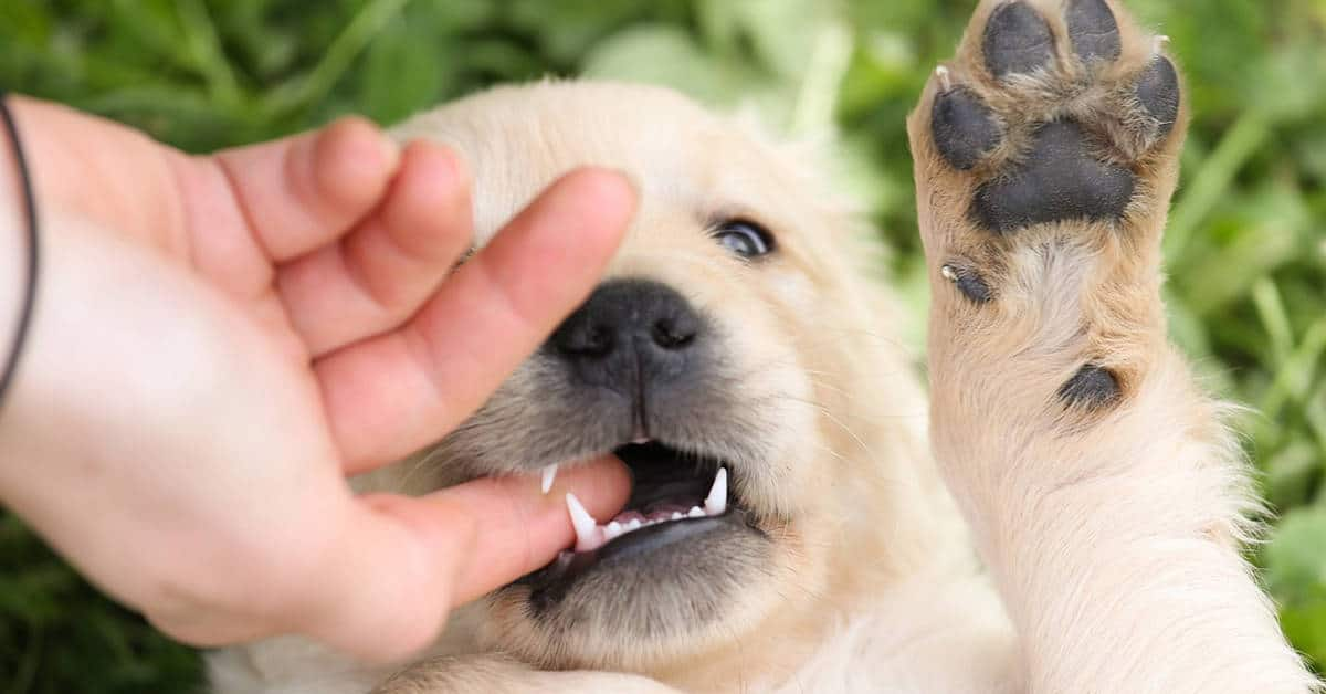 golden retriever puppy biting