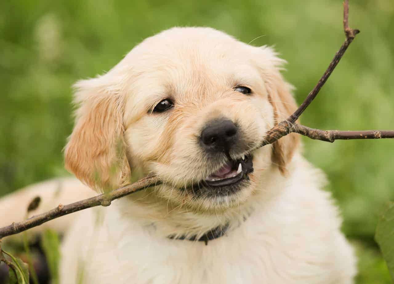 golden retriever puppy sharp teeth