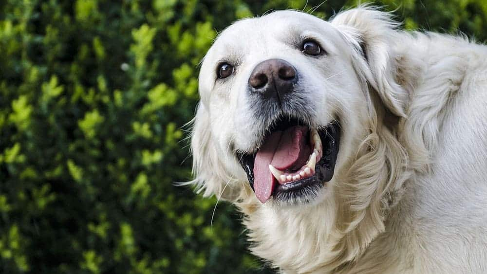 white golden retriever temperament