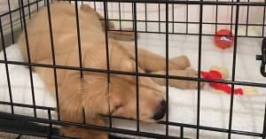 how to crate train your golden retriever puppy
