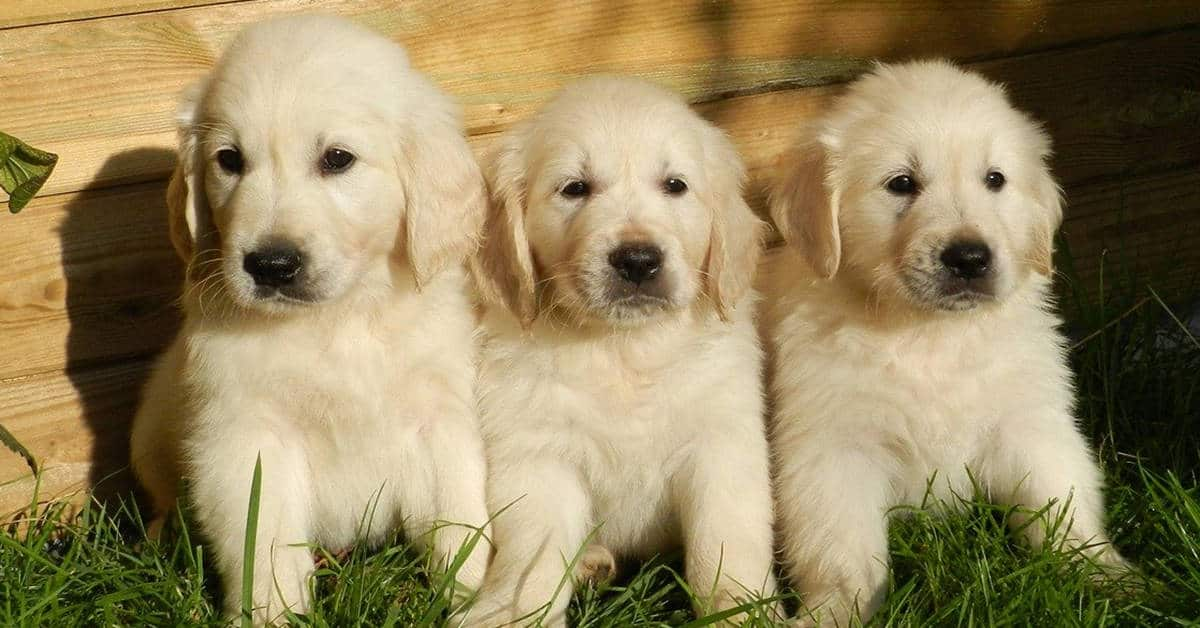 how to find a golden retriever breeder