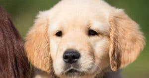 how to pick a golden retriever puppy