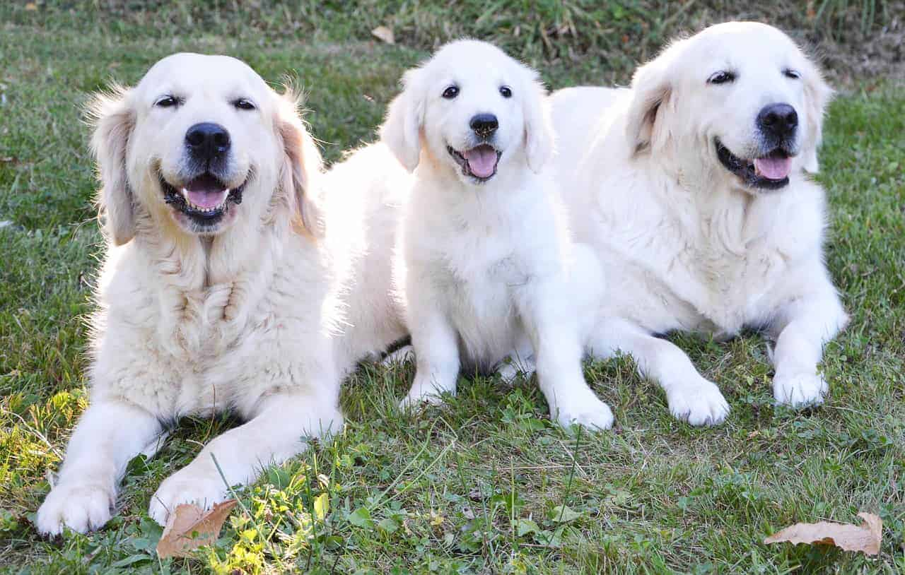 white golden retriever family