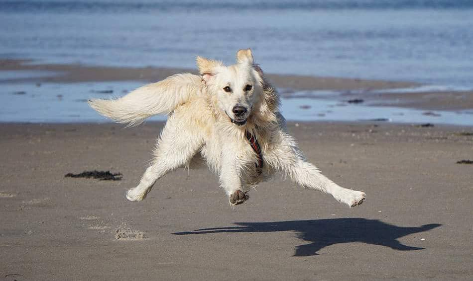 white golden retriever personality (1)