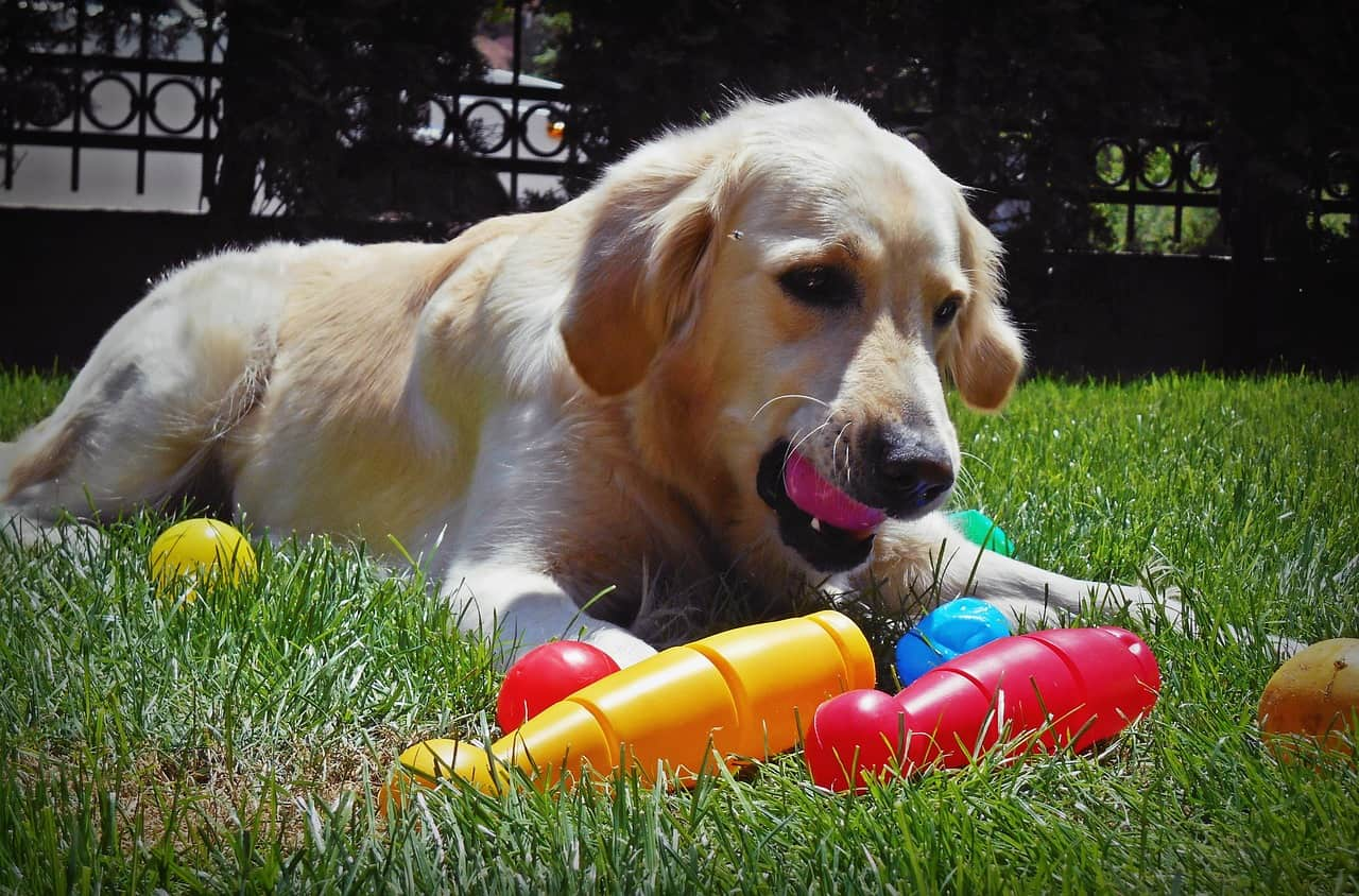 golden retriever drop toy