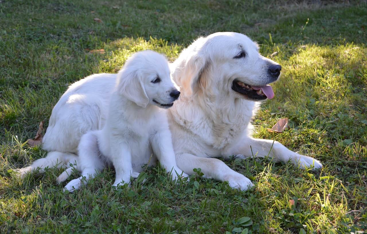 golden retriever inbreeding