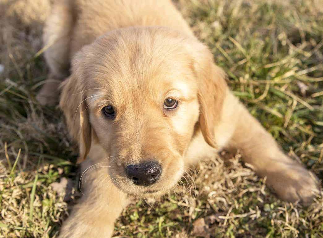 golden retriever puppy leave it