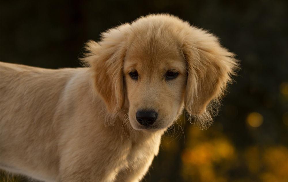 golden retriever puppy smart