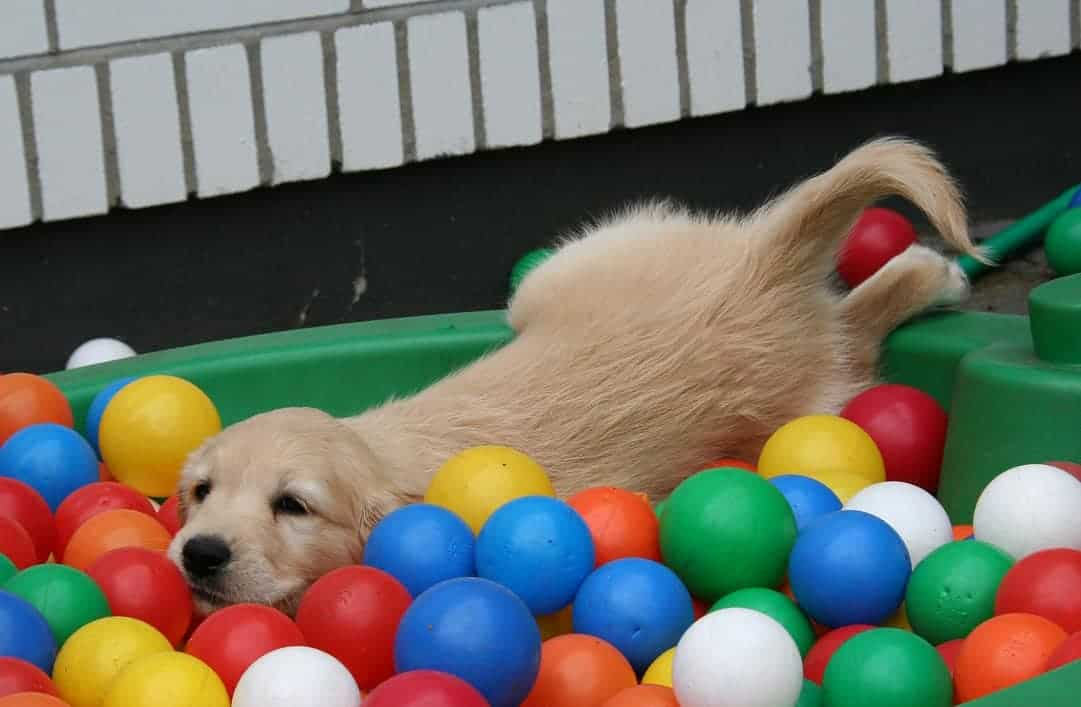 golden retriever puppy training