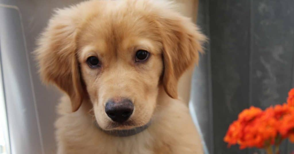 how to train golden retriever puppy